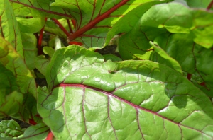 The ever lovely swiss chard
