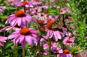 Echinacea + Butterflies!
