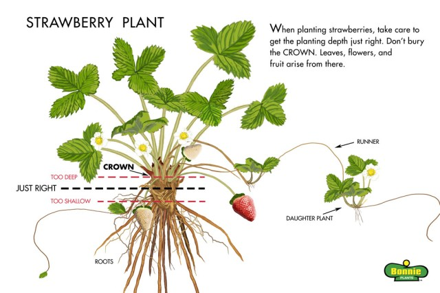 strawberry-plant-Illustration-web